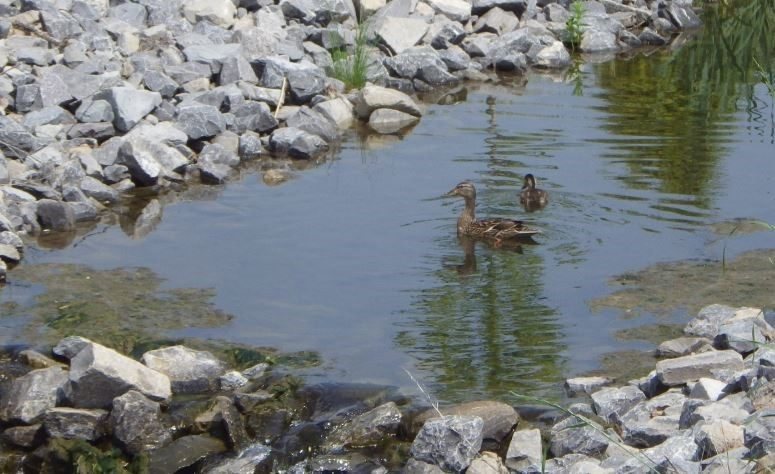 Ducks in brook near the wooded area (summer 2017).